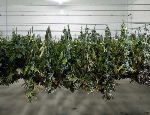 Jak se konopí skladuje? Skladování lékařské marihuany.