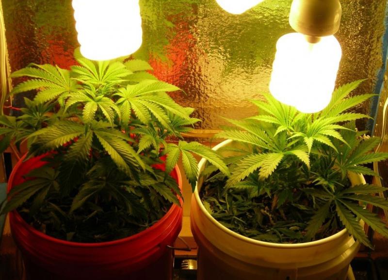 Výsledek obrázku pro vegetativní růst marihuana