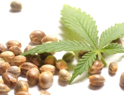 Jak uchovávat semena konopí, jak uskladnit semínka trávy
