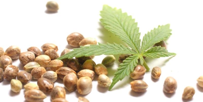 semena konopi jak skladovat
