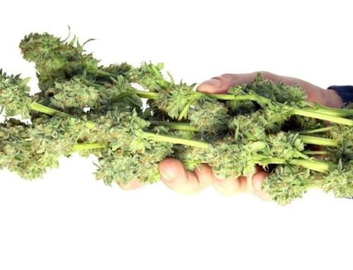 Jak nejlépe sušit sklizenou marihuanu / léčebné konopí?