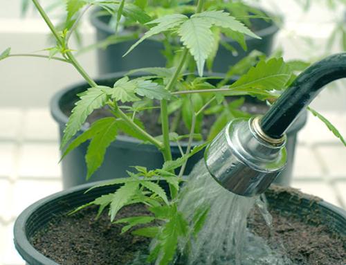 Co je flushing při pěstování konopí – propláchnutí vodou před sklizní